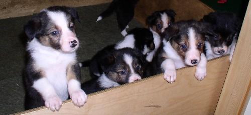 Killie -puppies
